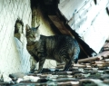 Tanyasi macska
