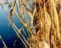 Fotózás: Gyopárosi tó náddal